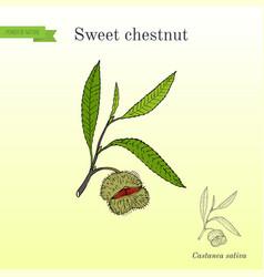 sweet chestnut castanea sativa vector image