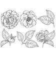 camellia flowers black and white set vector image