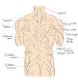 torso muscles back vector image