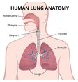 human lungs trachea and nasopharynx vector image