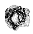 Cabbage with leafs cabbage head half of cabbage vector image vector image