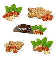 peanut kernel in nutshell with leaves set vector image vector image