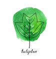 leaf of tuliptree vector image vector image