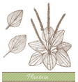 plantain in hand drawn style vector image vector image