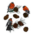 bullfinches on branches with pine cones vector image