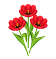 Spring flowers tulips on white background vector image