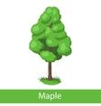 Maple cartoon tree vector image vector image
