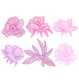 set linear peonies beautiful decorative summer vector image vector image
