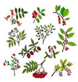 wild berries set vector image vector image