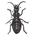 diagram nervous system a beetle vintage vector image vector image