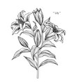 lily flower and leaf hand drawn botanical vector image vector image