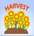 sunflowers harvest vector image