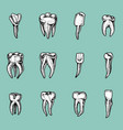 molar teeth enamel dental set work the vector image
