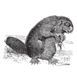 Beaver vintage engraving vector image vector image