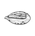 pecan nut sketch engraving vector image vector image
