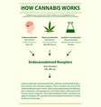 how cannabis works vertical infographic complete vector image vector image