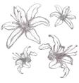 Hand drawn lilium flowers vector image vector image