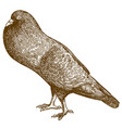 engraving pigeon bird vector image vector image