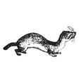 weasel vintage vector image vector image