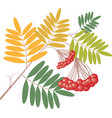 a rowan branch with ripe berries vector image