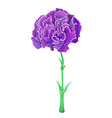violet carnation isolated on white background vector image vector image