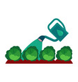 watering can pouring green cabbage isolated on vector image