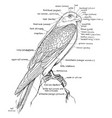 a labeled diagram a falcon to show the vector image vector image