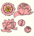 peony design hand drawn vector image