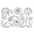 peony flowers buds and leaves sketch vector image vector image