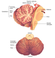 Anatomy of the Human Cerebellum vector image vector image