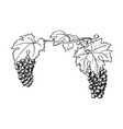 hand drawn grapewine bunch grapes leaves vector image