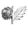 Valonia Oak vintage engraving vector image vector image