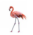 Flamingo bird isolated on white background vector image vector image