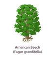 american beech icon flat style vector image vector image