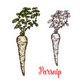 parsnip root vegetable with green leaf sketch vector image vector image