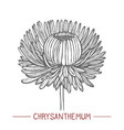 chrysanthemum in hand drawn style vector image vector image