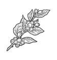 coffee plant tree sketch vector image