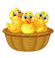three little chicks in basket vector image
