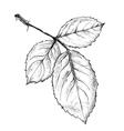 rose leaf vector image