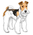dog Wire Fox Terrier breed vector image vector image