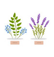 olibanum and lavender set vector image