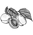 apricots monochrome drawing vector image