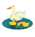duck swimming with two ducklings vector image