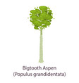 bigtooth aspen icon flat style vector image vector image