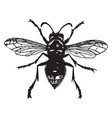 white faced wasp vintage vector image vector image