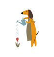 purebred brown dachshund dog watering flowers vector image vector image