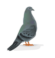 Carrier pigeon domestic breed sports bird i vector image vector image