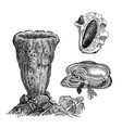 vintage engraving gastropods vector image vector image