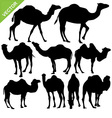 Camels silhouettes vector image