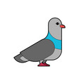 pigeon isolated dove on white background vector image vector image